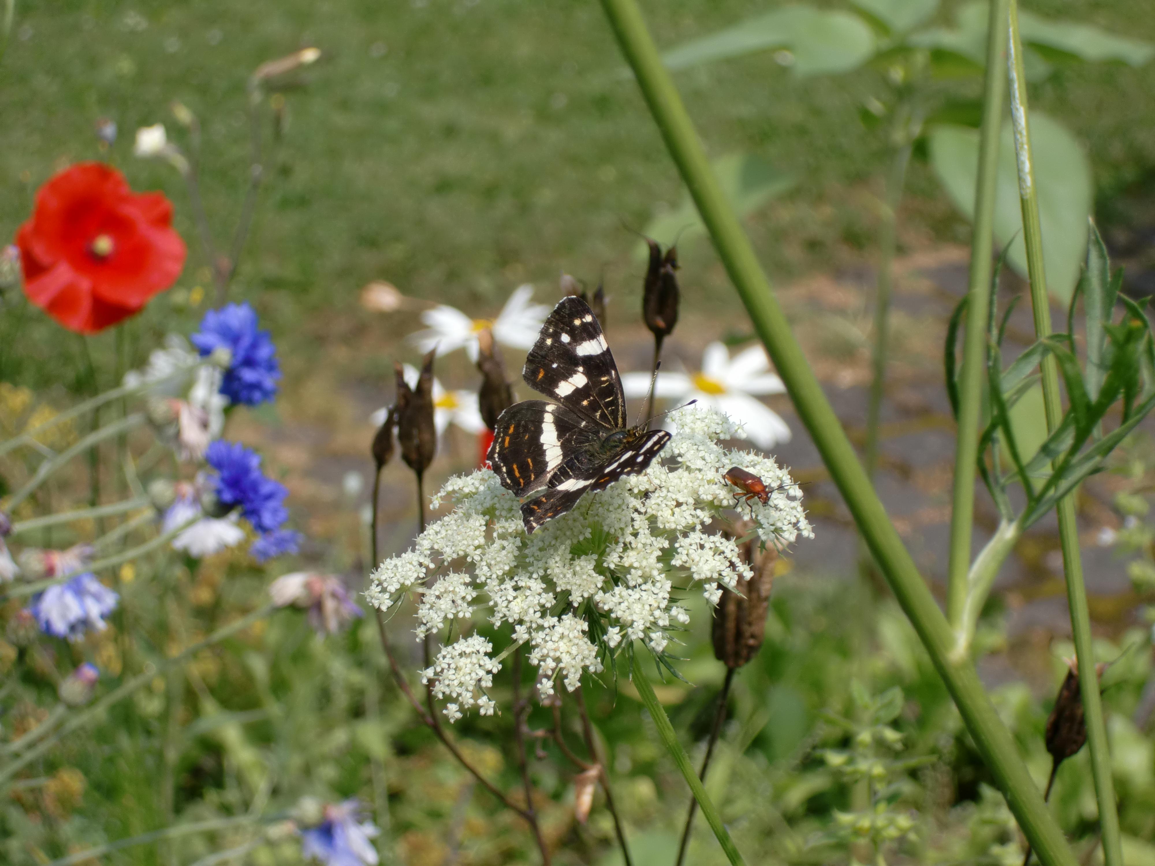 Landkärtchen, ein Schmetterling in zwei verschiedenen Varianten