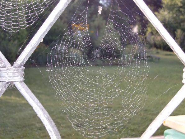 Spinnennetz der Sektorspinne in groß