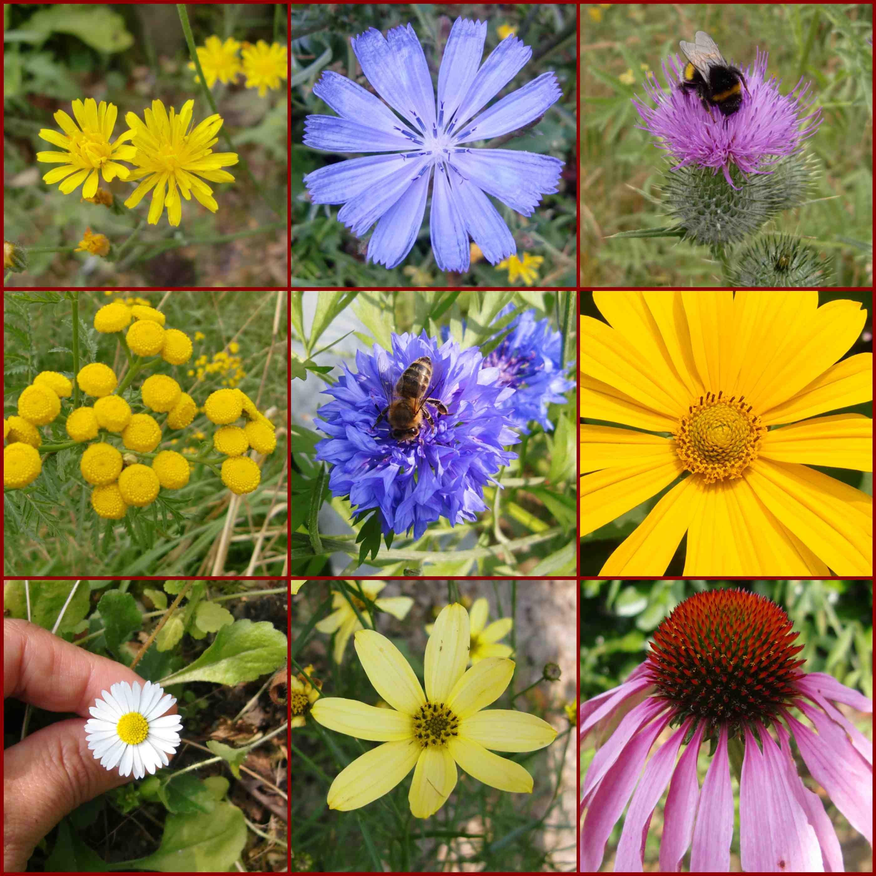 Korbblütler aus dem Garten, Wegwarte, Sonnenhut, Gänseblümchen, Kornblume, Distel