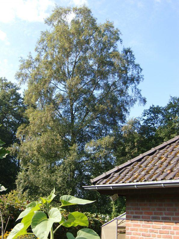 Birke, Baum des Lichts