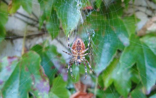 Wenn Spinnen Wege kreuzen