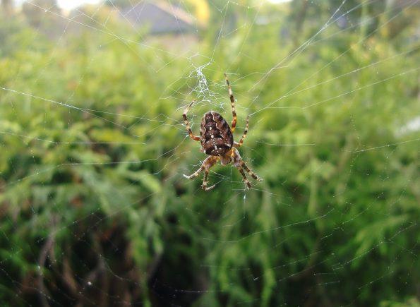 Gartenkreuzspinnen