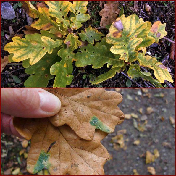 Herbstfärbung beginnt am Blattrand, manchmal behindern Verletzungen den Abtransport des Grüns
