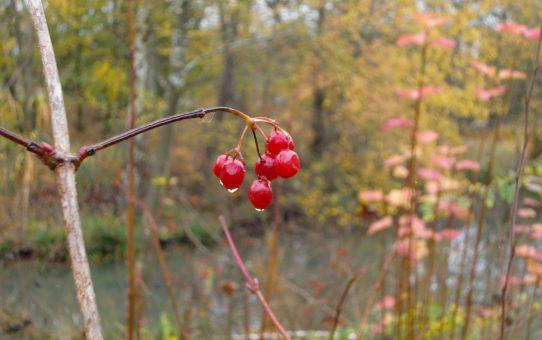 Rote Beeren an kahlen Zweigen