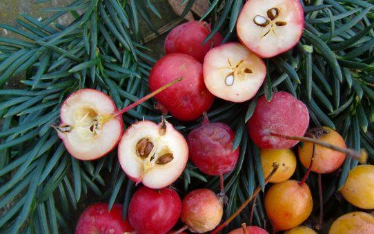 Zieräpfel - großer Auftritt der Kleinen