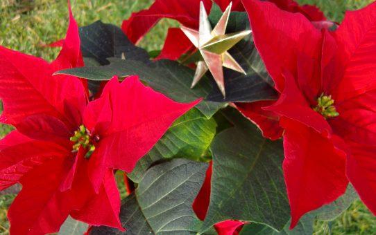"""Weihnachtsstern - """"die Schönste"""""""