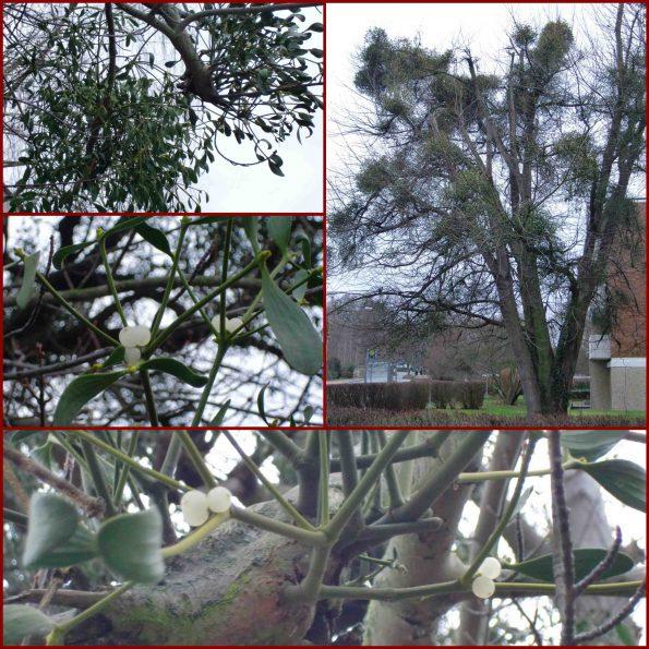 Misteln: Sträucher auf Bäumen