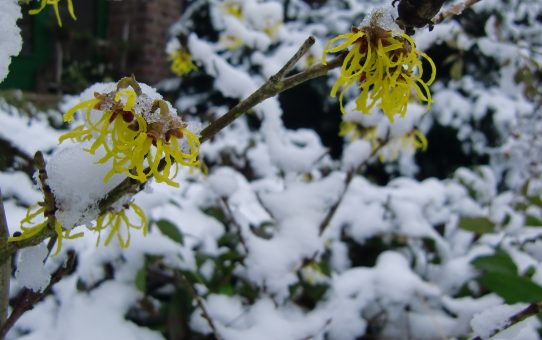 Büschelige gelbe Blüten der Zaubernuss