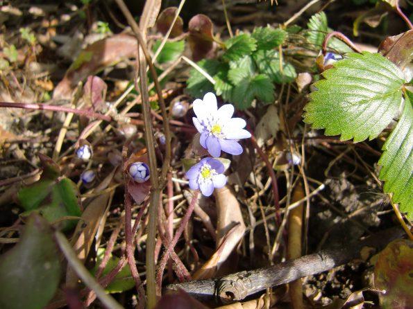 Leberblümchen im Vorfrühling