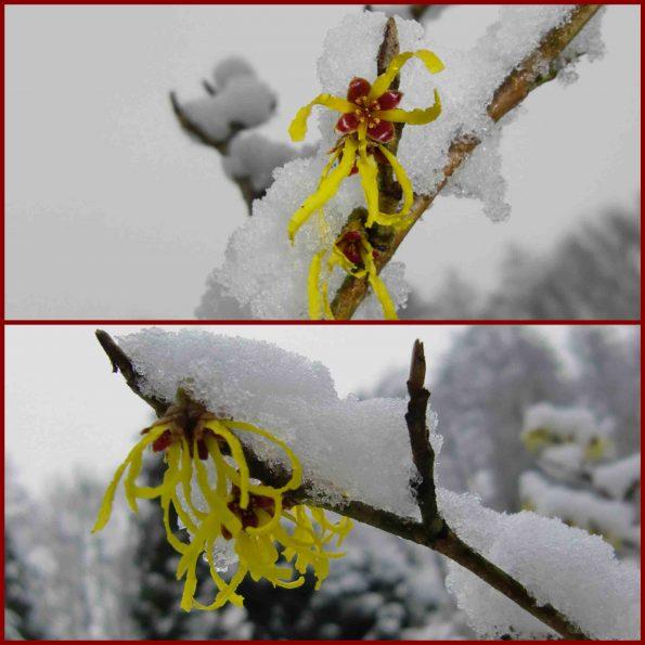 Gelb in Weiß: Blühende Zaubernuss