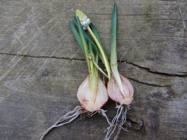 Traubenhyazinthe, Blumenzwiebel, Zwiebel oder Knolle