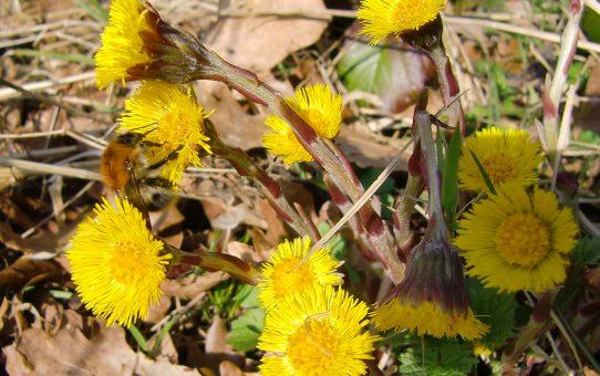 Huflattich als heilender Frühlingsbote