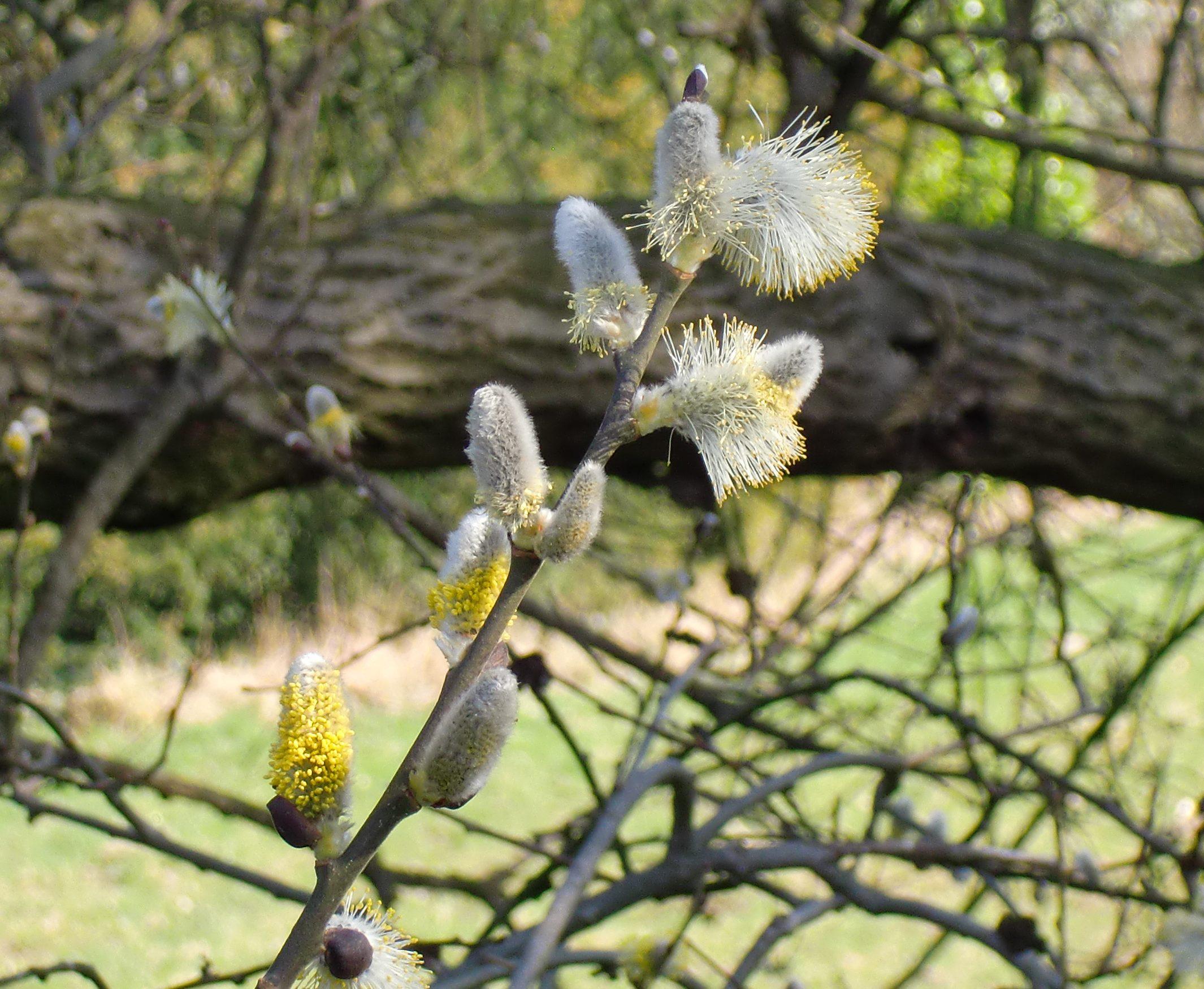 blühende Weide, Kätzchen der Weide