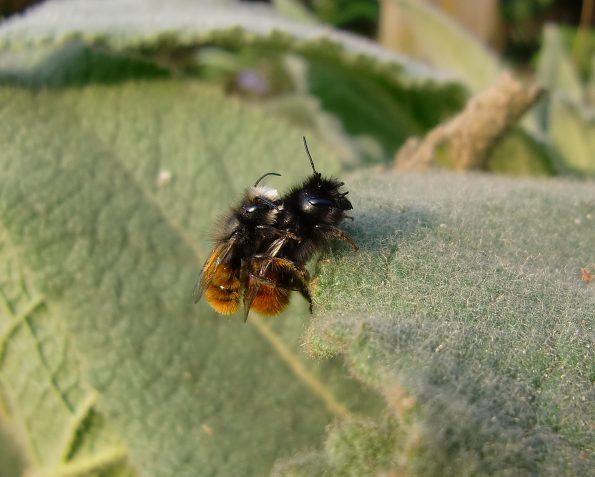 Wildbienen, Osmia cornuta