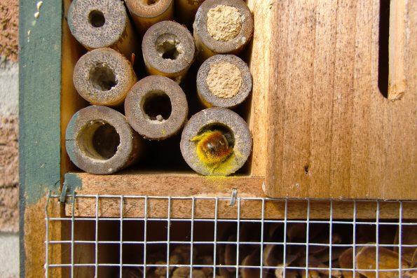 gehörnte Mauerbiene, Osmia cornuta