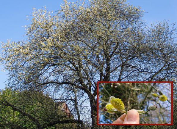 männliche Weidenkätzchen, zweihäusig, Salix