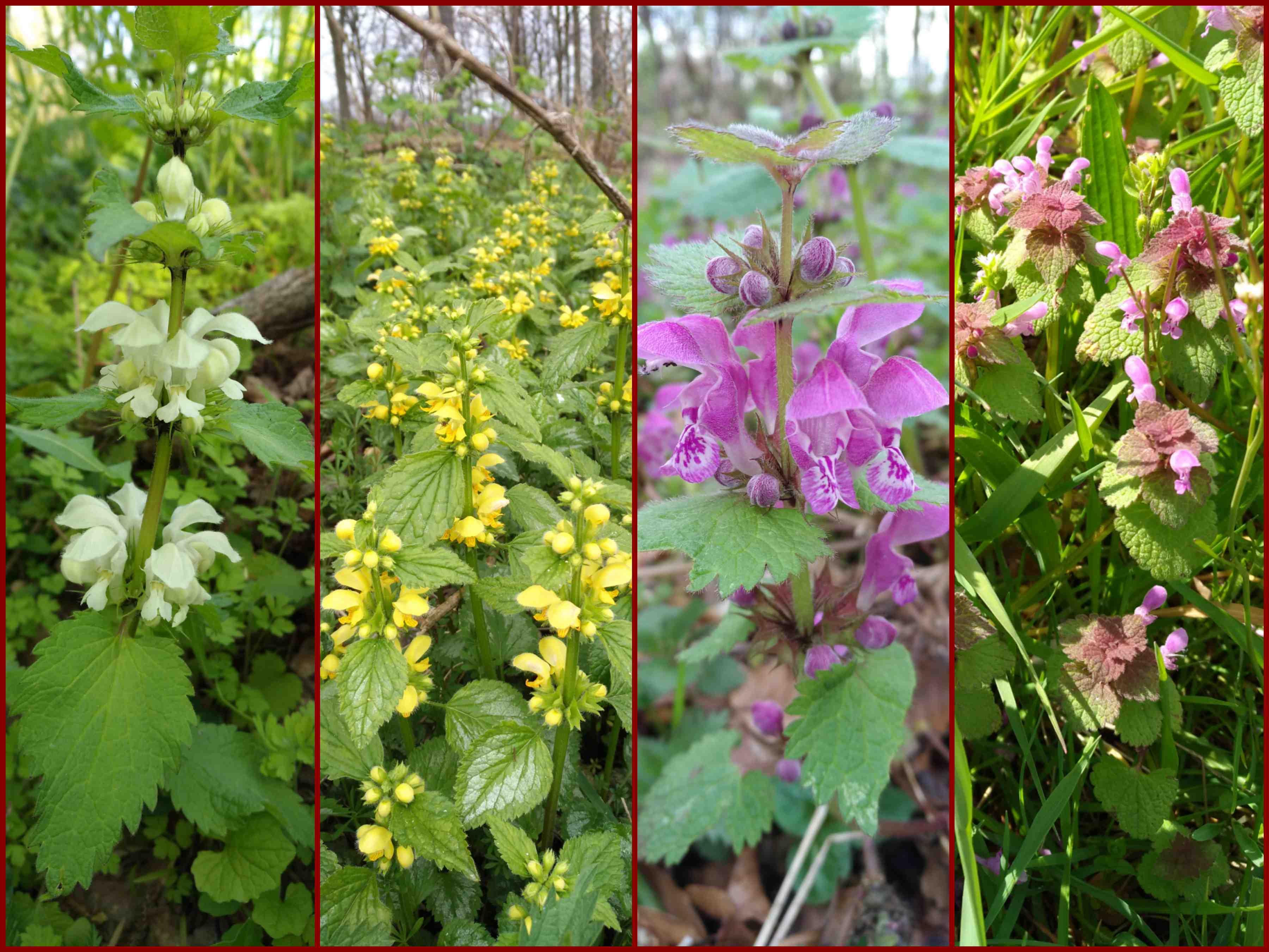 vier verschiedene Taubnesseln (Lamium), Lippenblütler