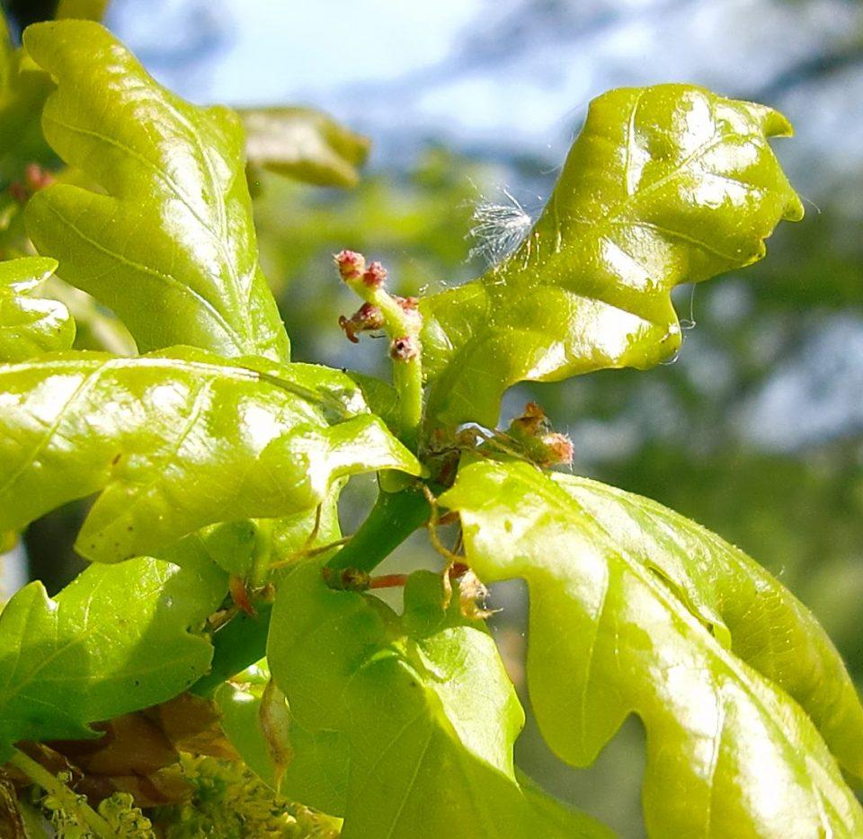 eingeschlechtliche Blüten, einhäusig, weibliche Eichenblüte