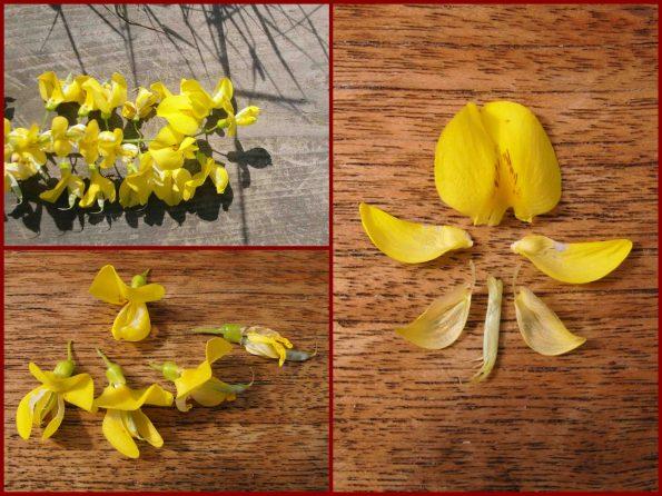 Entwicklung der Hülsenfrucht, Fabaceae