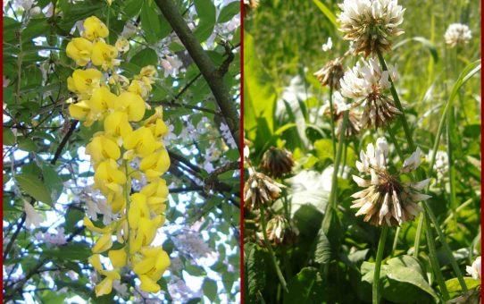 Schiffchen & Fahne: Schmetterlingsblüten