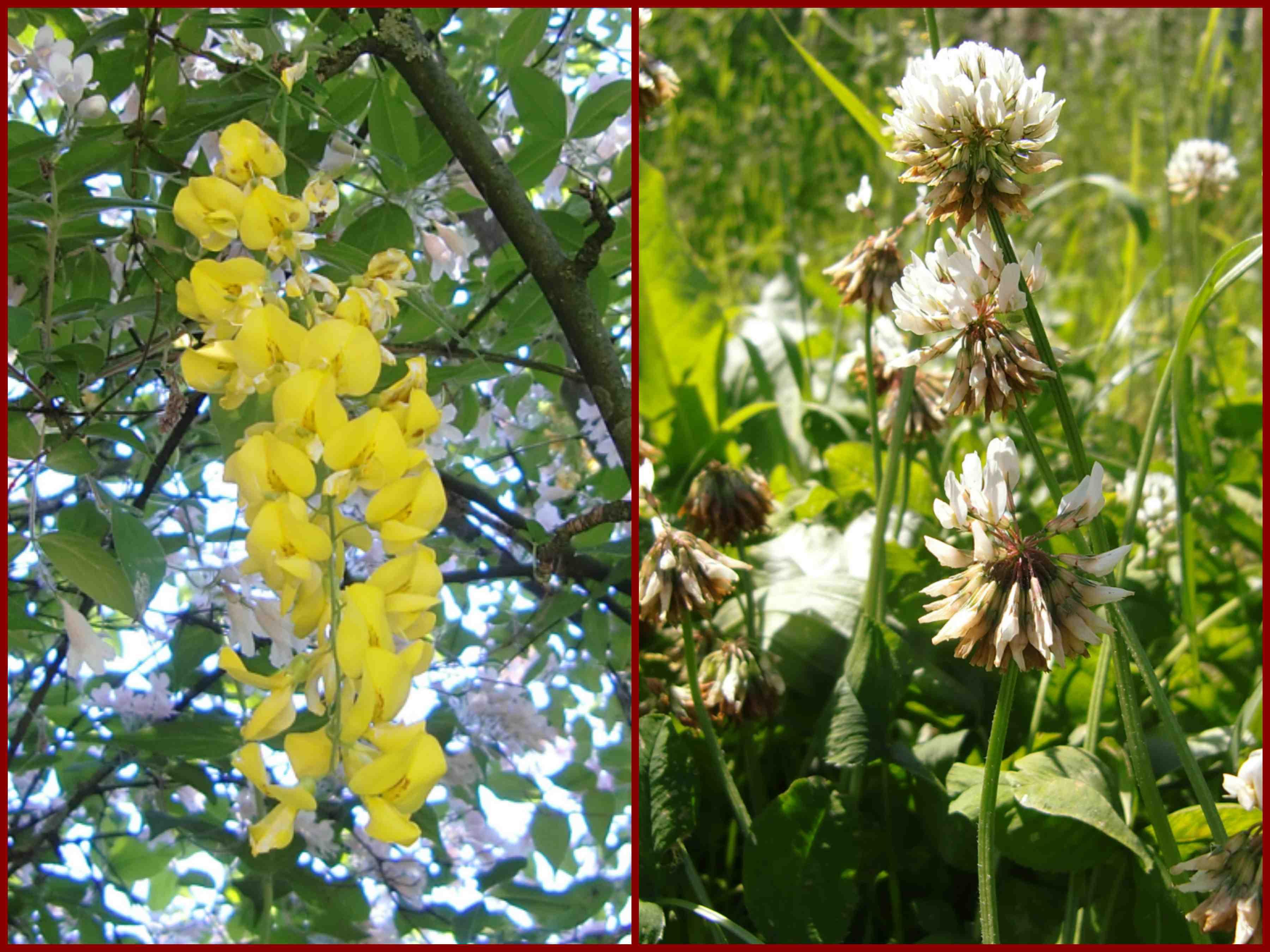 verschiedene Schmetterlingsblütler, Fabaceae