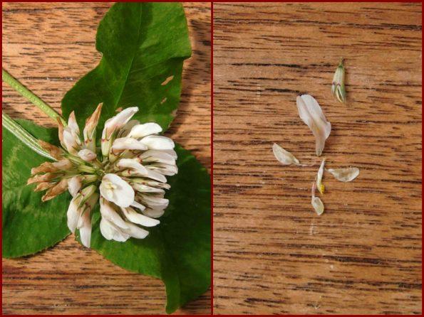 Weißklee, Trifolium, Schmetterlingsblüte
