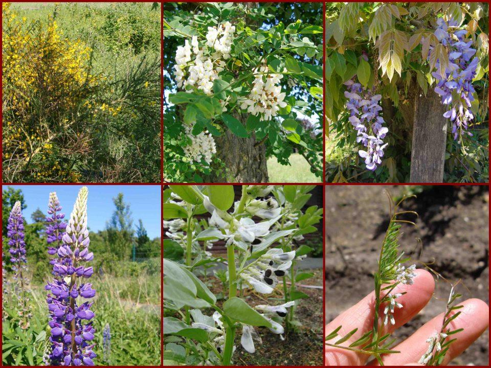 Fabaceae, Schmetterlingsblütler