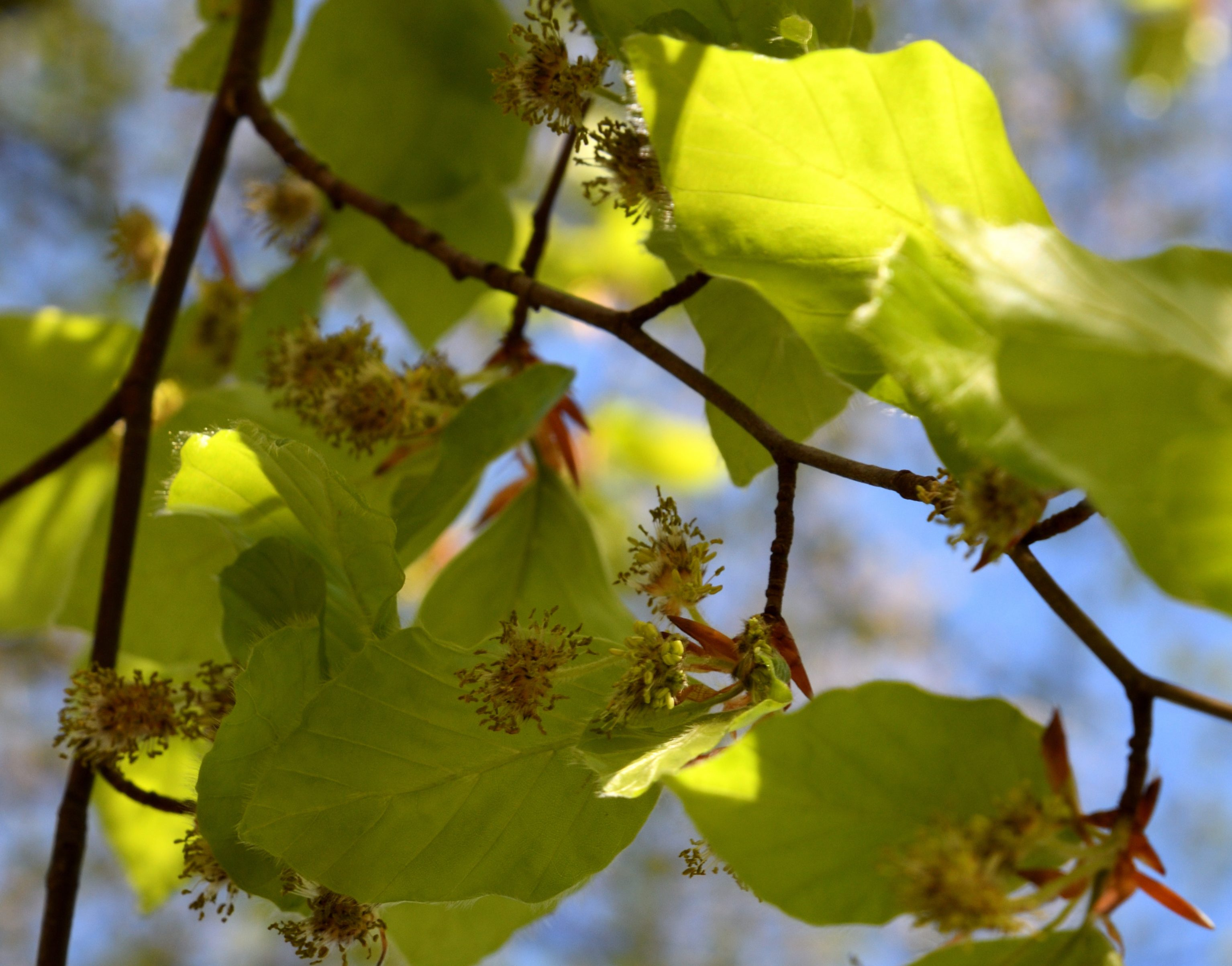 Wie blühen Buchen, Blüten von Buchen