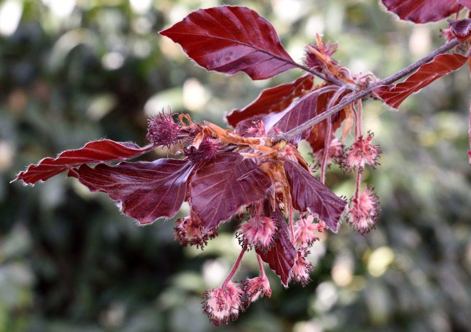 Buchenblüten, einhäusig