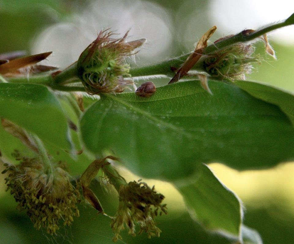 weibliche Buchenblüten