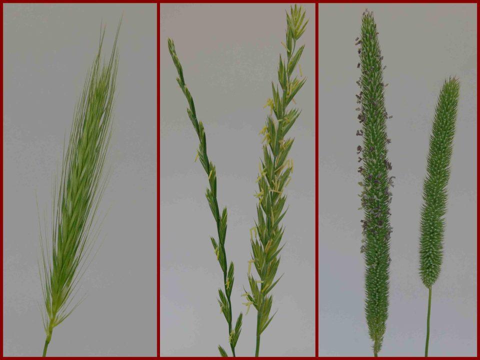 Mäusegerste, Hordeum murinum, Raygras, Lolium perenne, blühende Gräser