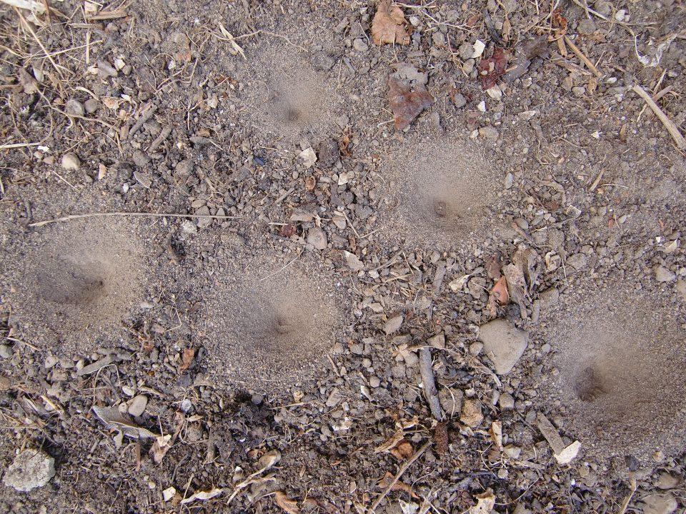 Ameisenlöwe, Larve von Ameisenjungfer