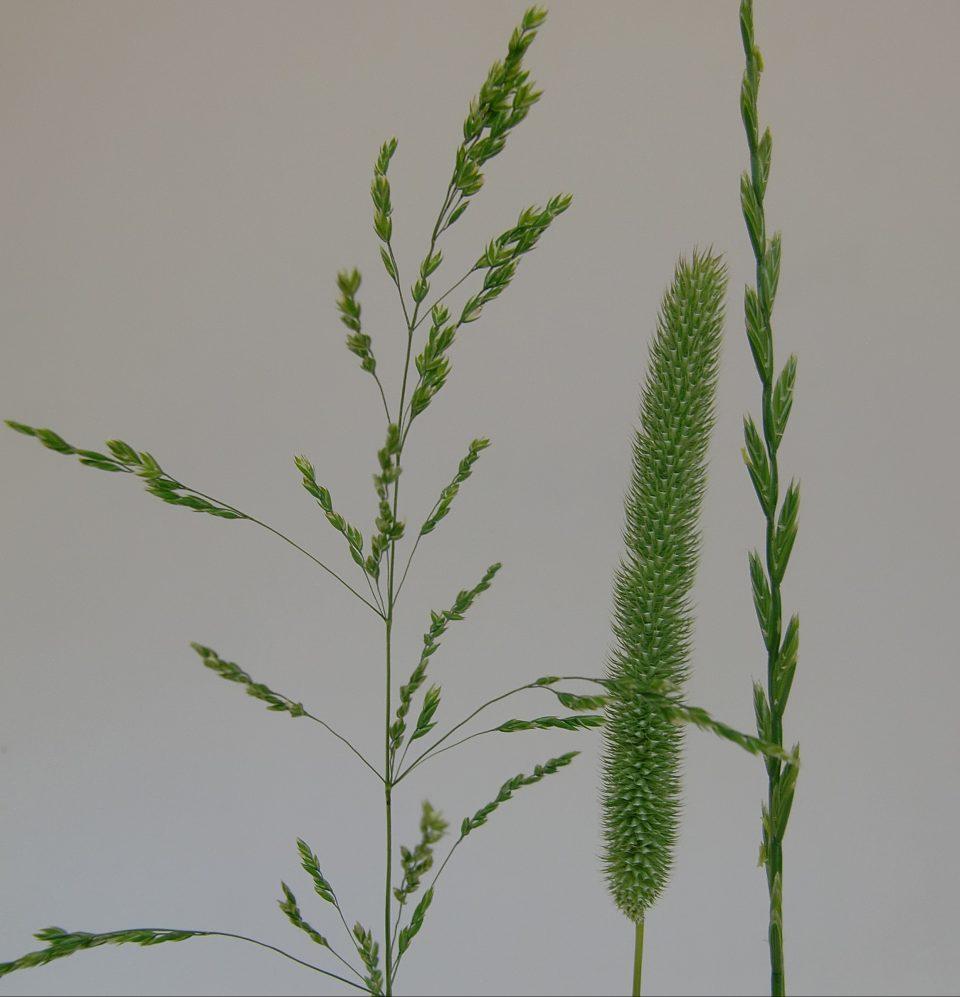blühende Gräser, Rispe, Ährenrispe, Ähre