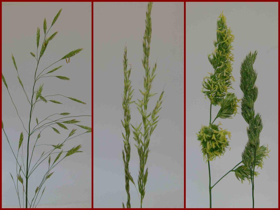 Wiesen Knäuelgras, Dactylis glomerata, Glatthafer, blühendes Gras