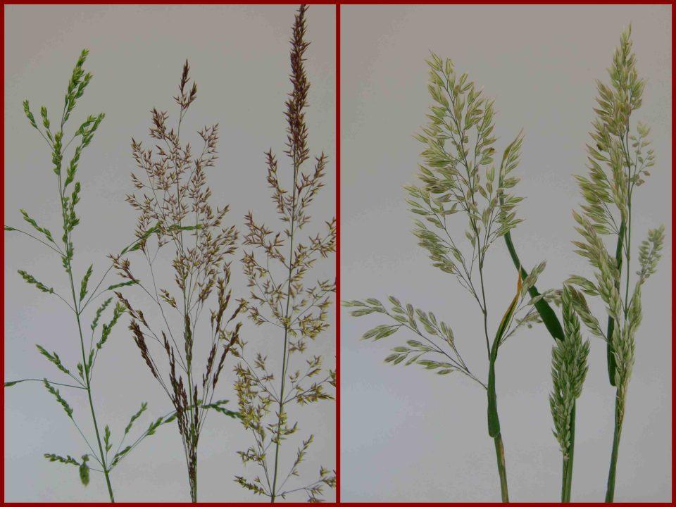 Gras blüht, Holcus lanatus, Poa pratensis