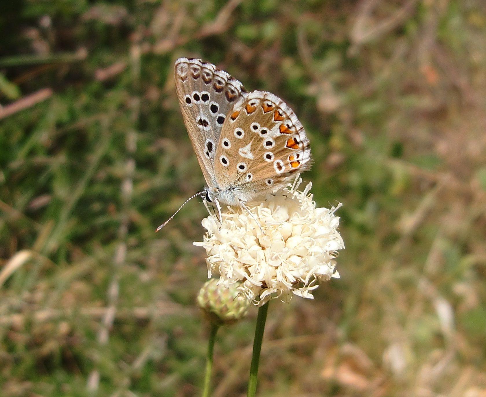 Schmetterling, Bläuling