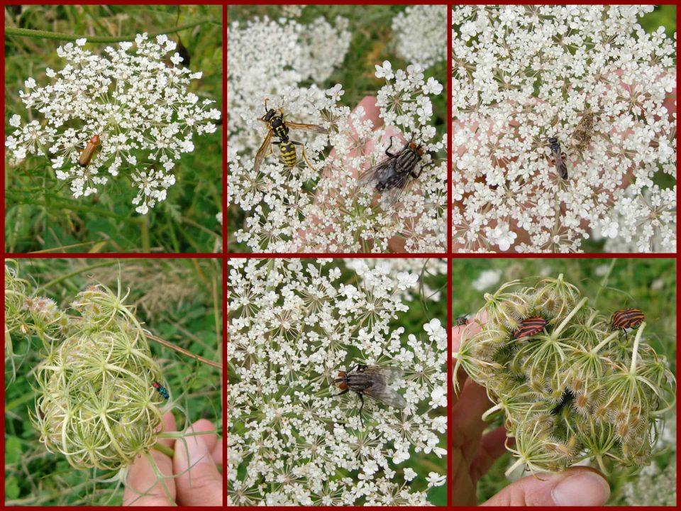 Wilde Möhre, Doldenblüte, Nektarpflanze, Blütenbesucher