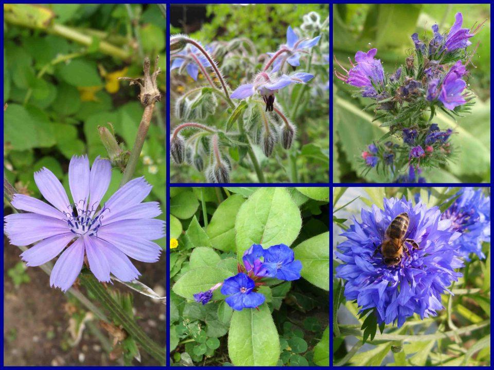 Bleiwurz, Kornblume, Natternkopf, blaue Blumen