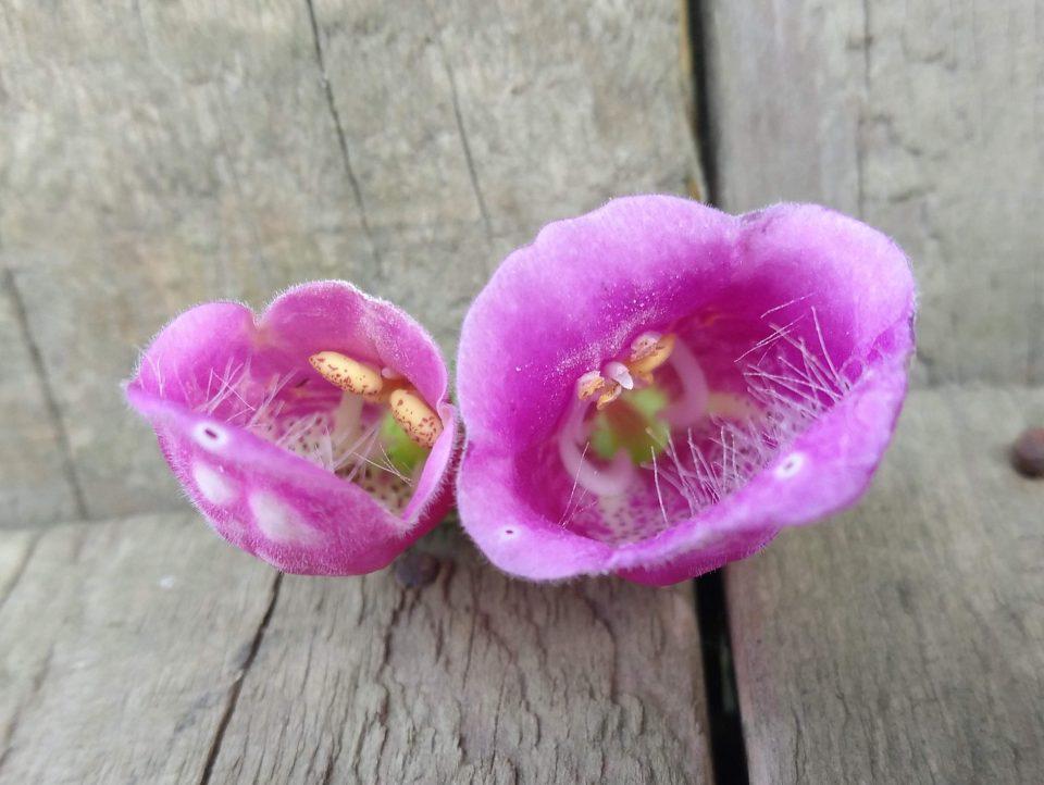 Rachenblüte, Fingerhut
