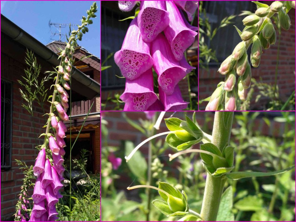 Digitalis Purpurea, Fingerhut