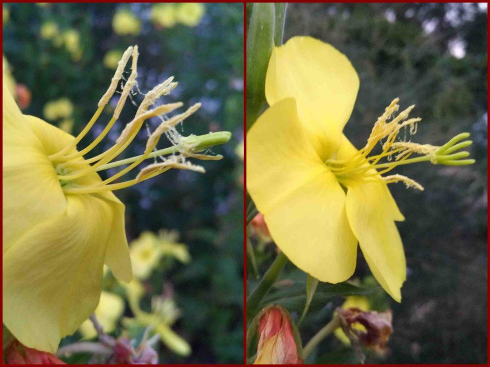 Nachtkerzen, Gelbe Blüten abends