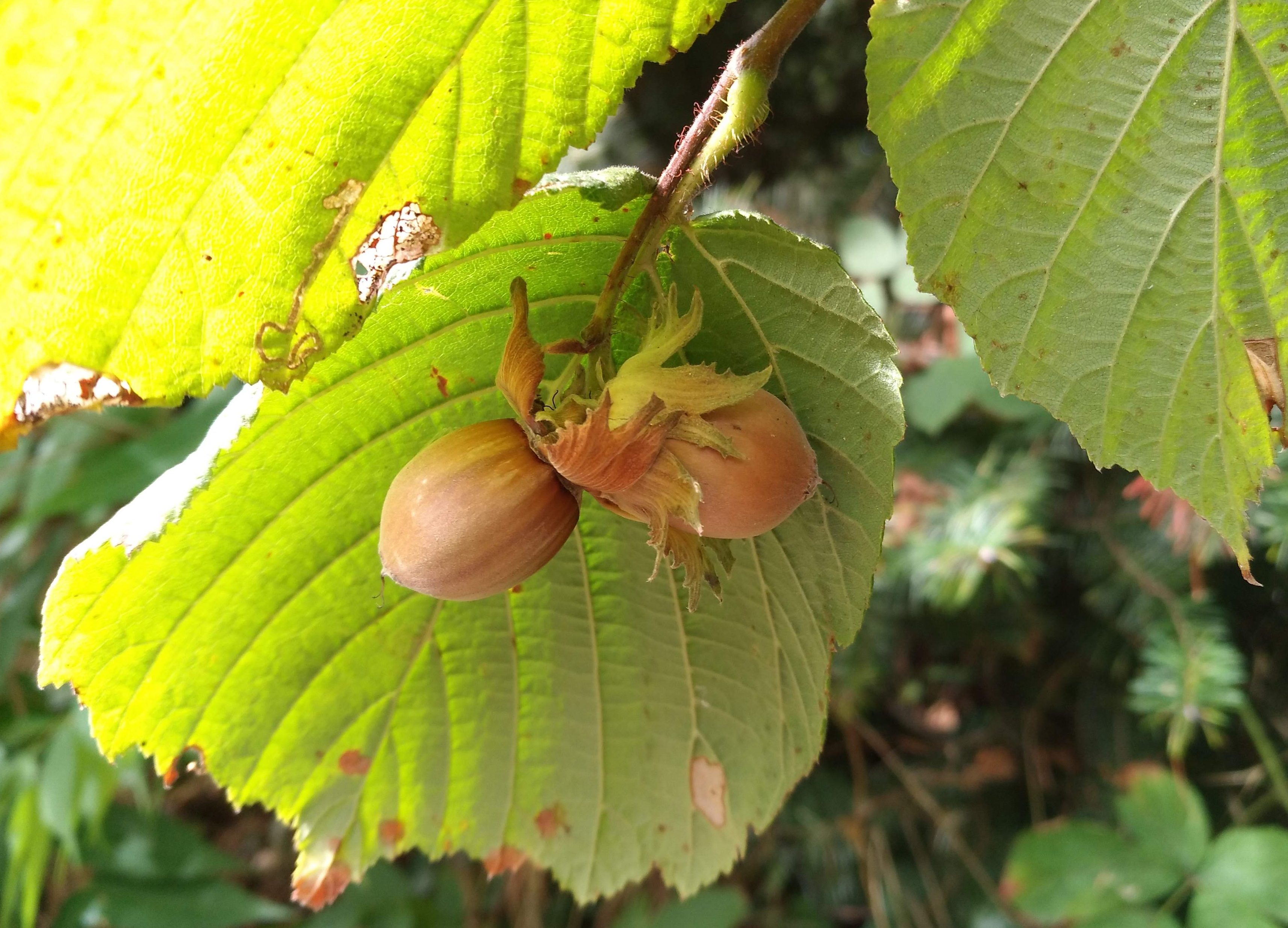 Haselnuss, wie hängt die Haselnuss am Baum, wie wachsen Haselnüsse