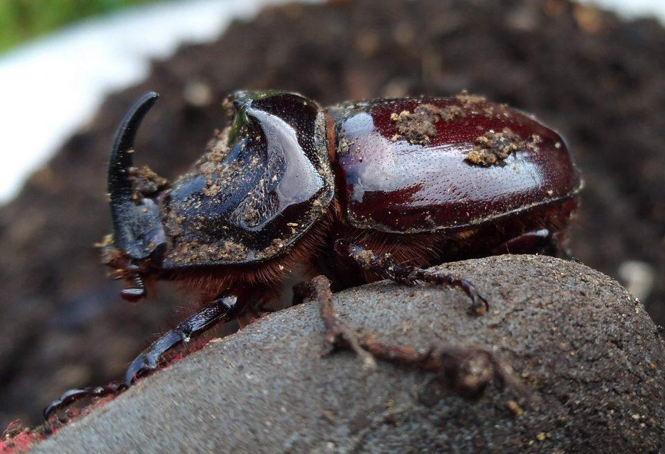 Riesenkäfer im Kompost, männlicher Nashornkäfer Oryctes nasicornis