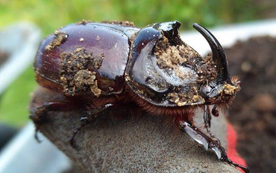 Monsteralarm: Riesenkäfer im Kompost
