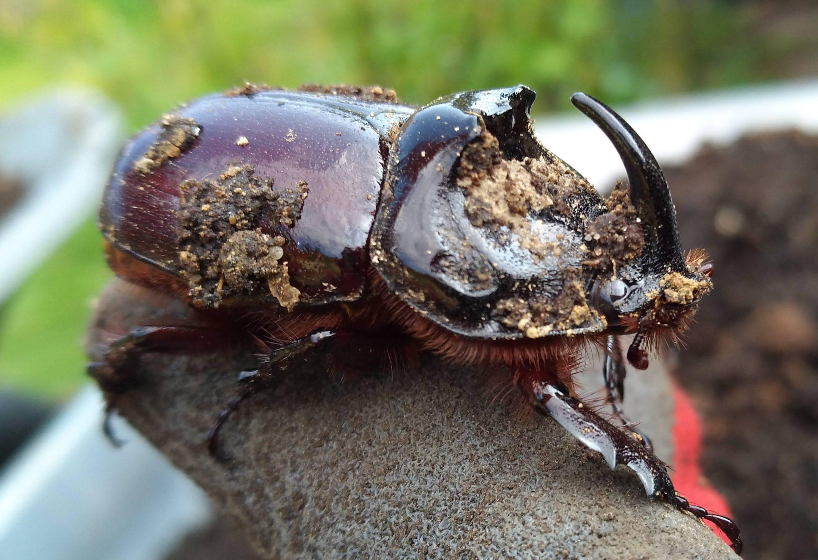 Riesenkäfer im Kompost, Monsterkäfer im Kompost