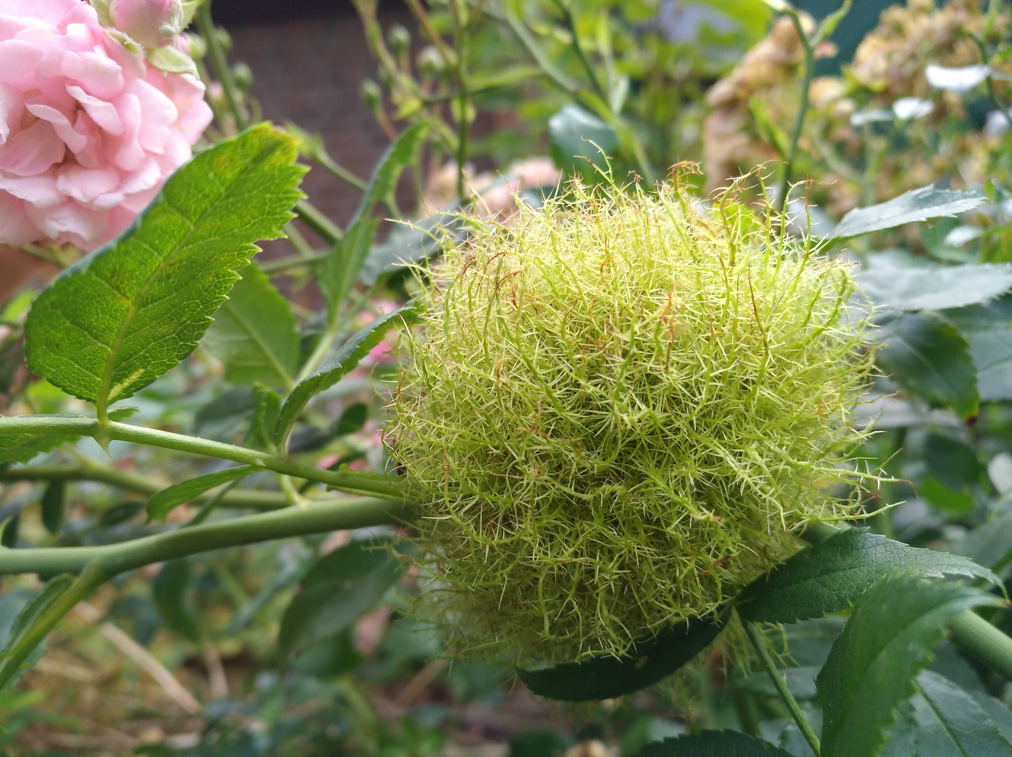 Rosengallwespen lassen zottlige grüne Kugeln wachsen