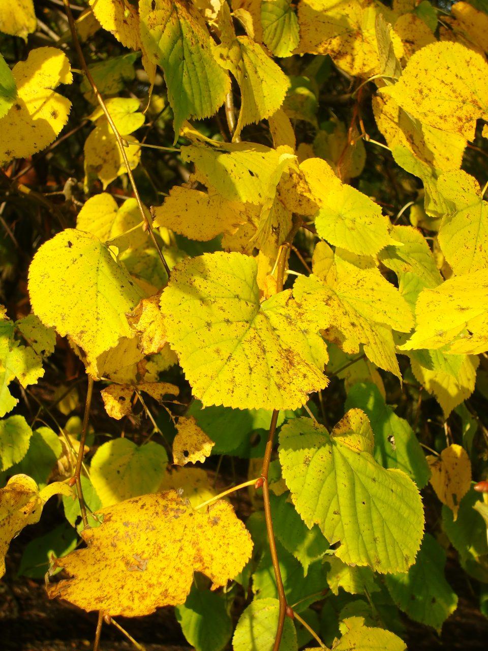 Warum gibt es Herbstfärbung