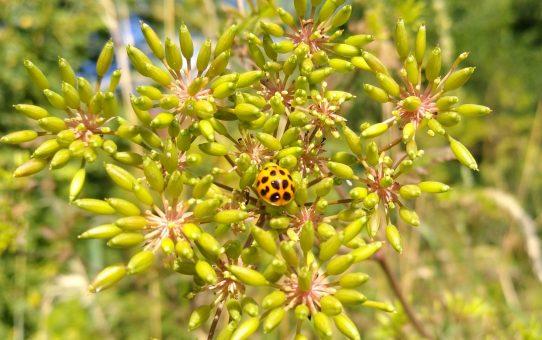 Blüten im Juni: Der Sommer wird gelb