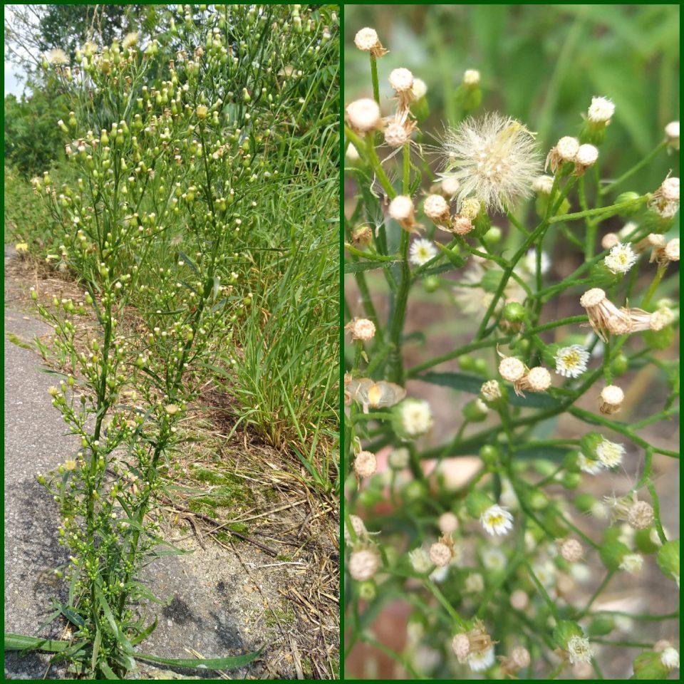 unscheinbare Blüten im Juli