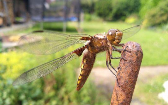 Libellen gefährlich, aber nicht für Menschen